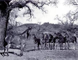 Первые жеребята Сибисквита